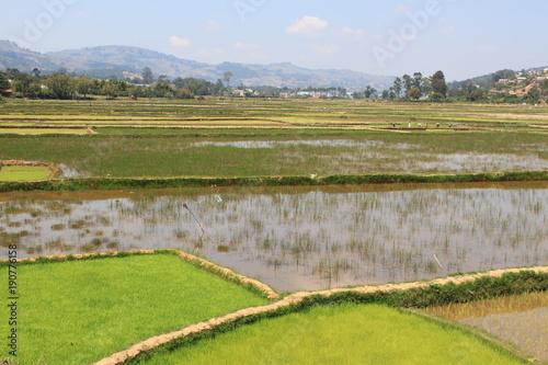 In de dag Pistache Reisanbau in Madagakar, junger Reis wächst