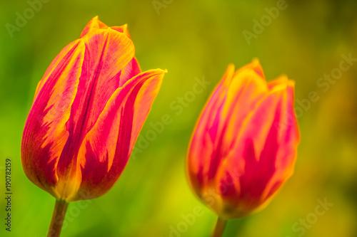 czerwone-tulipany,-kwiaty,-zielone-tlo