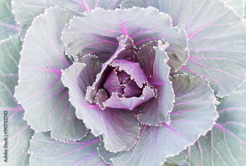 Purple or Violet Cabbages or Kale for Decoration © steafpong