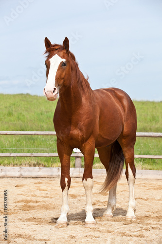 Portrait of  nice hot-blooded horse
