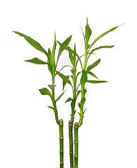 Tige de lucky bambou