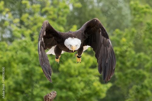 Aluminium Eagle Flying Bald Eagle
