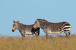 Cape mountain zebras (Equus zebra) in grassland, Mountain Zebra National Park, South Africa.