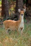 Female Barasingha or swamp deer (Rucervus duvaucelii), Kanha National Park, India. - 190809148