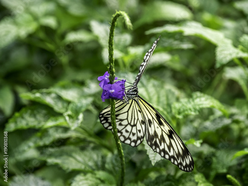 Fotobehang Vlinder Rice paper butterfly on a flower stalk