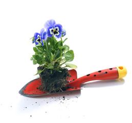 Plant pansies / viola wittrockiana