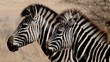 Grayscale Photography of Zebras