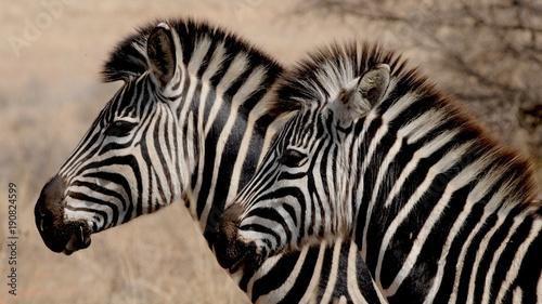dwie-zebry