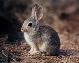 Young Cottontail Rabbit in Southern Arizona Desert, Cochise County - 190831191