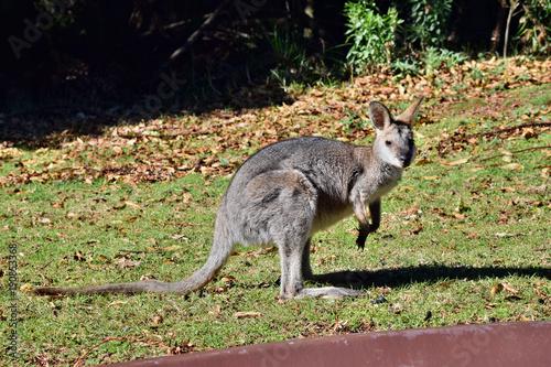 Aluminium Kangoeroe Young cute wild grey kangaroo