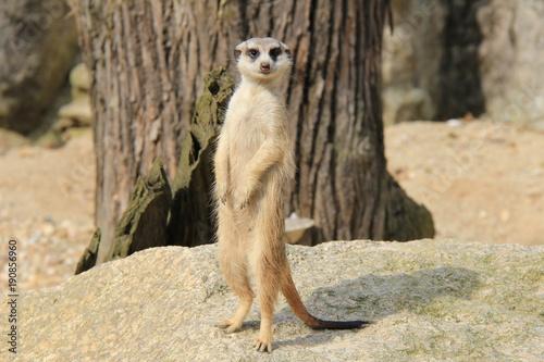 Foto Murales Portrait of standing meerkat.