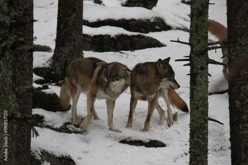 Aluminium Wolf Pack of wolves on the snow. National Park Sumava, Czech Republic.