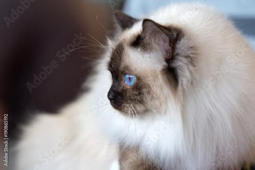 Birman Sacred Cat of Burma portrait