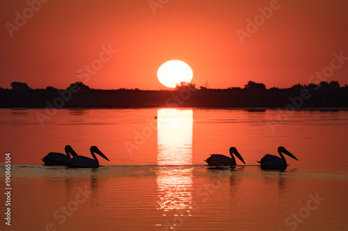 Aluminium Koraal Pelican colony at sunrise in Danube Delta Romania