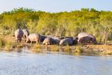 Herd of hippos sleeping, Isimangaliso Wetland Park, South Africa - 190872340
