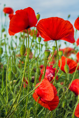 Photo of red poppy flowers in meadow. Close up.