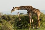 mother and baby giraffe on the Maasai Mara - 190876551