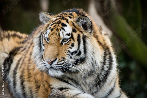 Fotobehang Tijger tiger, cat, animal, wildlife, wild, predator, feline