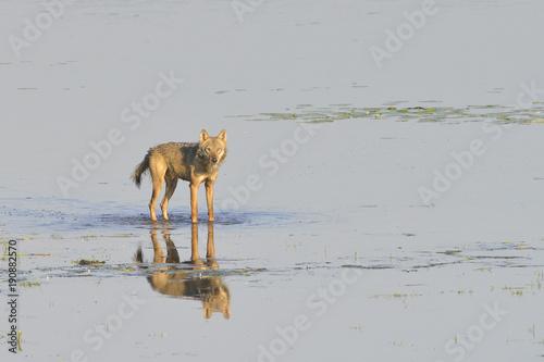 Aluminium Wolf Europäischer Grauwolf bei der JagdEuropäischer Grauwolf bei der Jagd