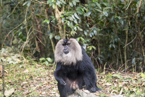 Fotobehang Lion The lion tailed macaque