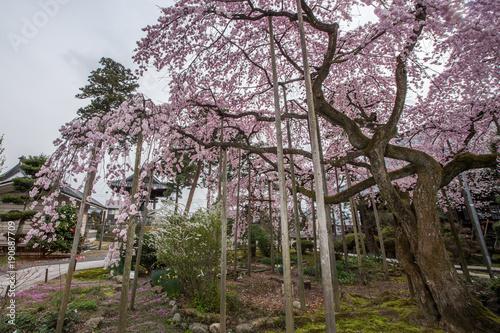 Foto op Plexiglas Lavendel 桜