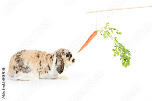 Rabbit: Trying To Tempt With Carrot On A Stick