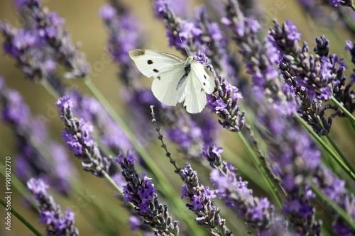Foto op Canvas Lavendel Papillon blanc à pois noirs posé sur de la lavande
