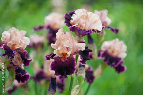 Plakat fresh pink  violet irises