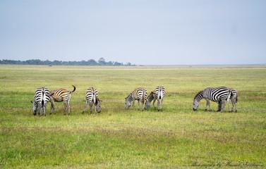 Zebras feeding near Kibo (Kenya/ Africa)