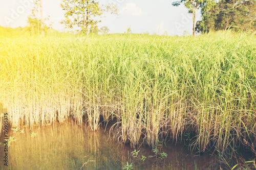 Foto op Plexiglas Zwavel geel Golden rice in the fields.