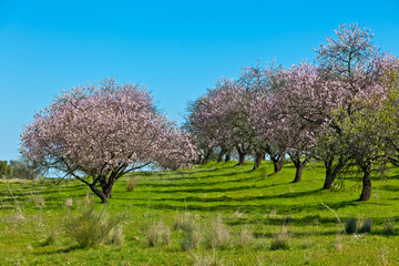 Pink Blooming Peach Trees at Spring
