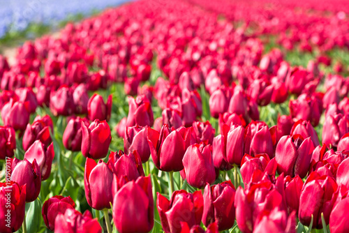 Fotobehang Tulpen Red tulips field in the Netherlands