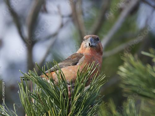 Fotobehang Papegaai Parrot crossbill (Loxia pytyopsittacus)