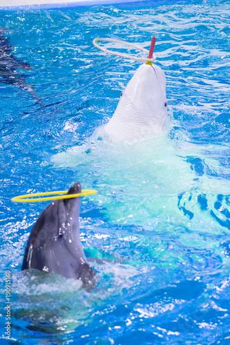 Fotobehang Dolfijn beluga and dolphin twirl hoop in show