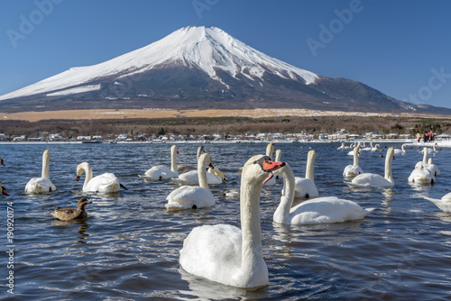 Aluminium Zwaan There are many swans in the mountain lake at Mount Fuji mountain. Japan
