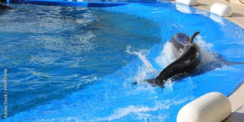 Fotobehang Dolfijn プールの浅い場所にあがってきたイルカの後ろ姿