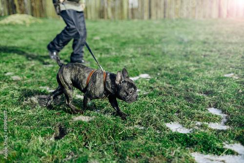 Foto op Plexiglas Franse bulldog black french bulldog on a spring walk