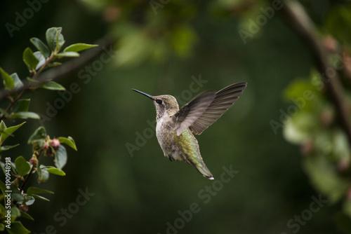 Humming ptak unosi się w forrest zieleni tle