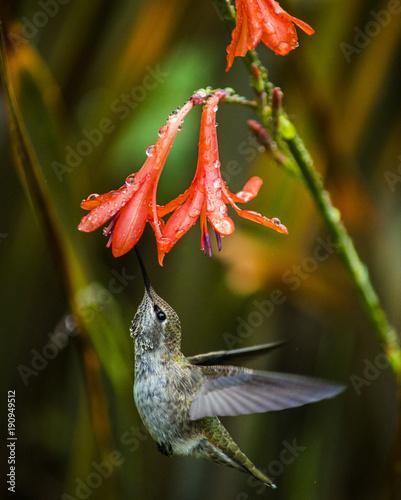 Humming ptak unosi się i pije nektar od czerwonego kwiatu