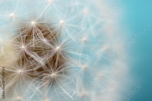 Dandelion against Blue Background