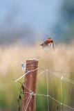 Vermilion Flycatcher - 190976916