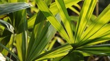 Little palm leaves and sunlight in the evening, Natural light background - 190981198