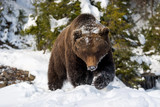 Wild brown bear in winter forest - 190988133