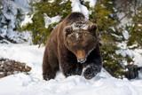 Wild brown bear in winter forest - 190988133