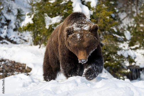 wild-brown-bear-in-winter-forest