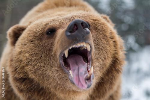 Brown bear roaring in forest