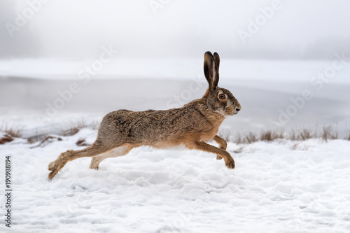 Foto Murales Hare running in the field