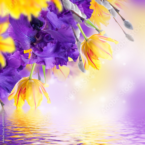 Fotobehang Iris Violet irises, yellow tulips and willow with mimosa on a blurred background. Butterflies on flowers.