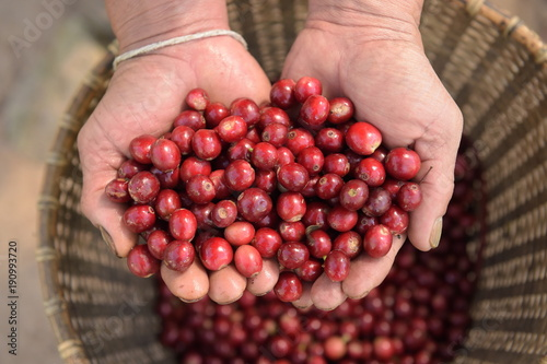 Fotobehang Kersen Close up of red berries coffee beans on agriculturist hand