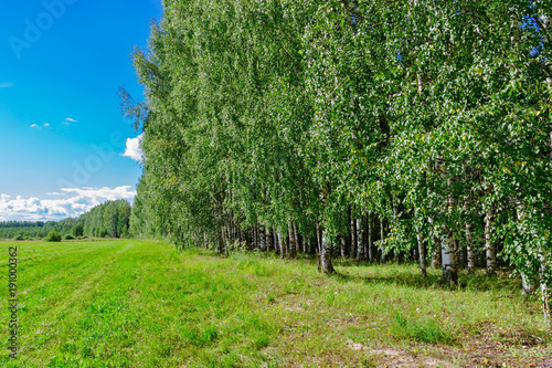 Fotobehang Berkenbos birch grove in summer
